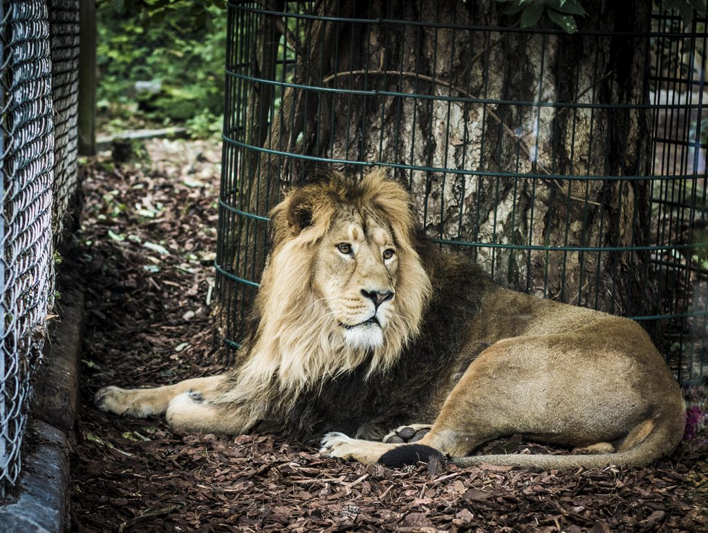 A lion in his enclosure at Bristol zoo