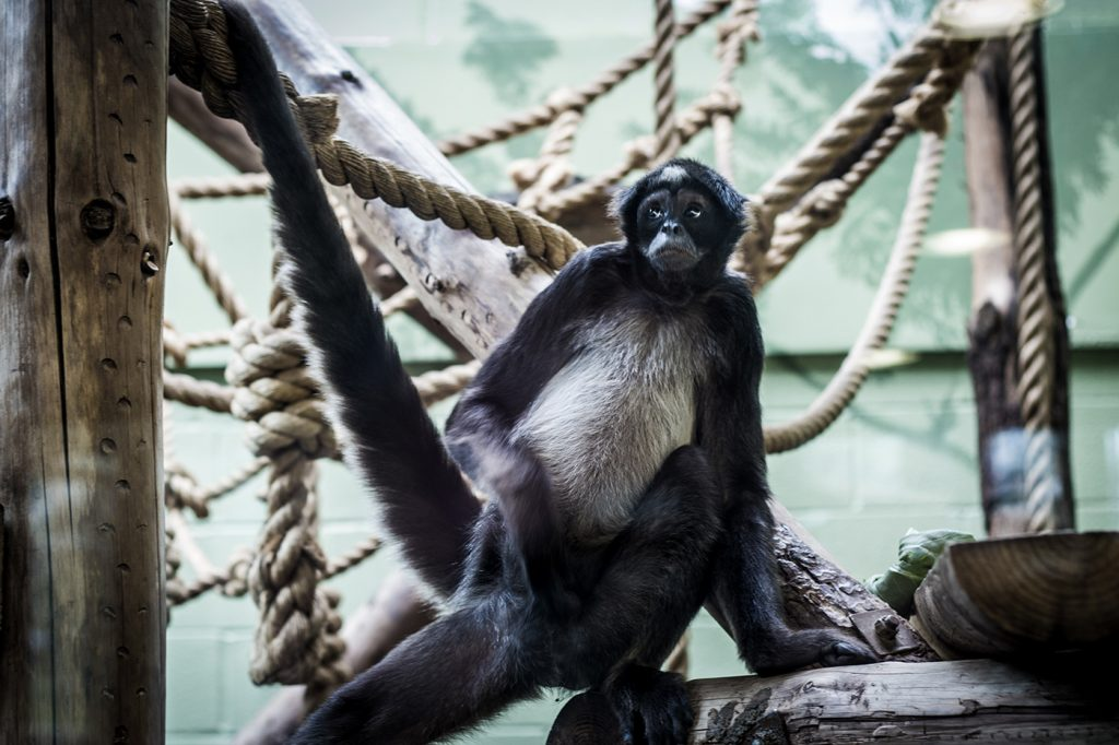 A spider monkey poses at Bristol Zoo